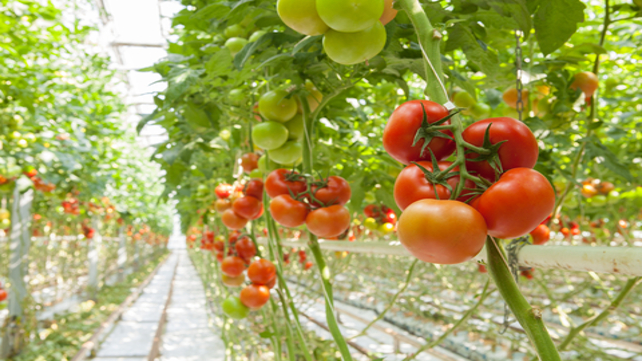 "Intergrow Greenhouses: the US greenhouse which has chosen ""island mode"" CHP to make growing tomatoes more efficient"